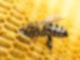 Eine Biene steckt ihren Kopf in eine Wabe.