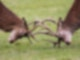 Zwei braune Hirsche kämpfen miteinander und ihr Geweih ist verharkt.