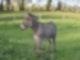 Ein grauer Esel steht auf einer Wiese. Er hat seinen Kopf gehoben und seinen Kopf nach links gerichtet.