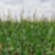 Man sieht ein grünes Feld, auf dem Maispflanzen in die Höhe wachsen.