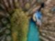 Ein bläulich schimmernder Pfau schaut in die Kamera, im Hintergrund sieht man sein aufgeklappte buntes Rad.