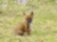Dingo-Welpe