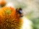Eine Hummel sitzt an einer orangenen Blume.